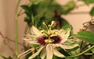 Пассифлора (Passiflora) — род растений семейства Страстоцветные, все о гомеопатии