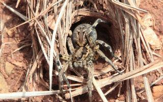 Тарантула испаника (Tarantula hispanica) — лечение нервного беспокойства, все о гомеопатии