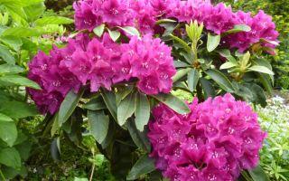 Рододендрон (Rhododendron) — род кустарников семейства вересковых, все о гомеопатии
