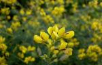Баптизия тинктория (Baptisia tinctoria) — семейство  бобовых, все о гомеопатии