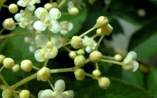 Самбукус нигра (Sambucus nigra) — бузина черная, все о гомеопатии